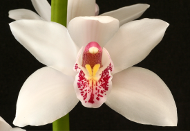 http://orchids.wikia.com/wiki/Cymbidium_Alexanderi?file=Cym_Alexanderi-Westonbirt_closeup_1.jpg