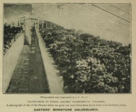 Calceolara from 1907 cataloe