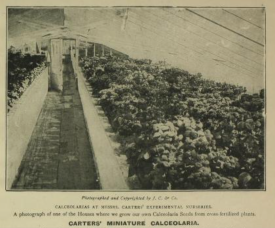 Calceolara from 1907 cataloe