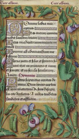 Pisum sativum L. [as Pisum arvense L.] Bourdichon, J., Grandes Heures Anne de Bretagne, p. 97 () http://plantgenera.org/illustration.php?id_illustration=344057&SID=0&mobile=0&code_category_taxon=1