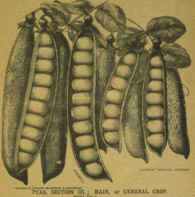 from H.Cannell & Sons Catalogue of Perfect Seeds 1899 https://archive.org/stream/HCannellSonsmat00HCanAG#page/n7/mode/2up