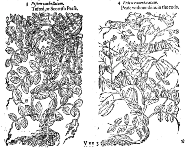 from Gerard's Herbal of 1597