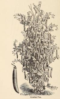 from Willaim Robonson's translation of Vilmorin-Andrieux The Vegetable garden