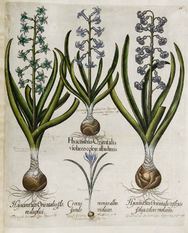 Hyacinthus orientalis L. [as Hyacinthus orientalis violaceo colore albis lineis] Bessler, Basilius, Hortus Eystettensis, vol. 1: Secundus ordo collectarum plantarum vernalium, t. 50, fig. I (1620) [B. Besler]