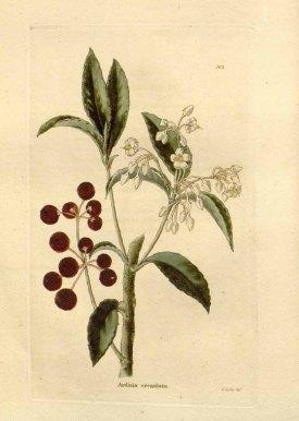 Ardisia crenata Sims [as Ardisia crenulata Lodd.] The botanical cabinet [C. Loddiges], vol. 1: t. 2 (1827) [G. Cooke] drawing: G. Cooke
