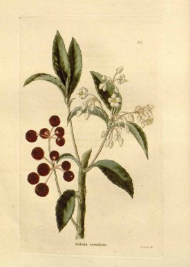 Ardisia crenata Sims [as Ardisia crenulata Lodd.] The botanical cabinet [C. Loddiges], vol. 1: t. 2 (1827) [G. Cooke] drawing: G. Cooke