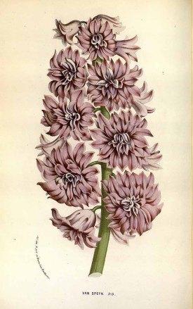 Hyacinthus orientalis L. var. Van Speyk Houtte, L. van, Flore des serres et des jardin de l'Europe, vol. 18: t. 1834 (1845)