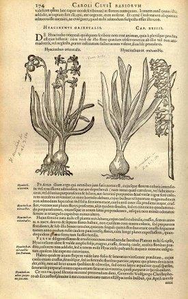 Hyacinthus orientalis L. [as Hyacinthus orientalis] Clusius, C., Rariorum plantarum historia, vol. 1: fasicle 2, p. 174, fig. 1 (1601)