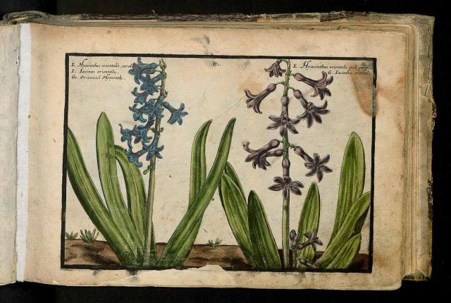 Hyacinthus orientalis L. [as Hyacinthus orientalis caeruleo] Passe, C. van de, Hortus floridus (coloured plates), fasicle 1. vernalis, t. 10, fig. 1 (1614)