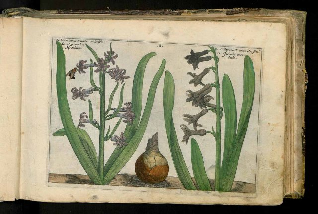 Hyacinthus orientalis L. [as Hyacinthus orientalis caule folioso] Passe, C. van de, Hortus floridus (coloured plates), fasicle 1. vernalis, t. 11, fig. 1 (1614)