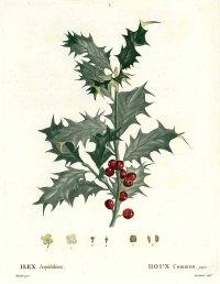 Ilex aquifolium L. Christ's thorn, Holly, Needle leaved Holly Duhamel du Monceau, H.L., Traité des arbres et arbustes, Nouvelle édition [Nouveau Duhamel], vol. 1: t. 1 (1800-1803) [Redouté]