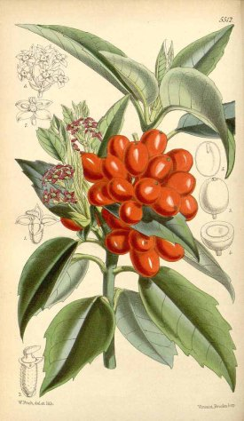Aucuba japonica Thunb. Curtis's Botanical Magazine, t. 5486-5551, vol. 91 [ser. 3, vol. 21]: t. 5512 (1865) [W.H. Fitch] drawing: W.H. Fitch