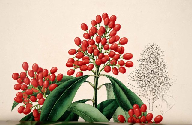 Skimmia japonica Thunb. L' Illustration horticole, vol. 1: t. 13 (1854)
