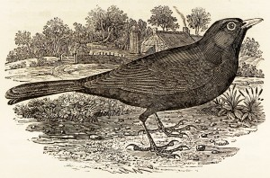 Blackbird from History of Birds vol.1