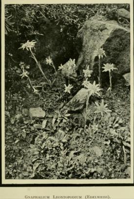 Edelweiss, from Alpine Plants