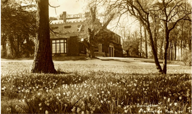 Daffodils at Farringford Park. Postcard by Ken Merwood C1950.