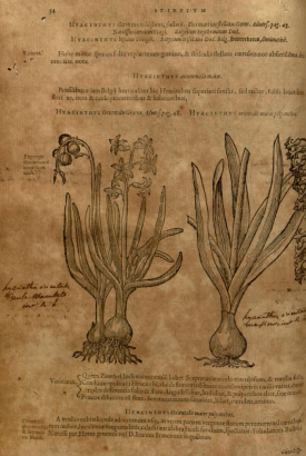 Plantarum, seu, Stirpium historia /Matthiae de Lobel ... Cui annexum est aduersariorum volumen ... By: L'Obel, Matthias de, 1576 https://archive.org/stream/mobot31753003488167#page/n53/mode/2up