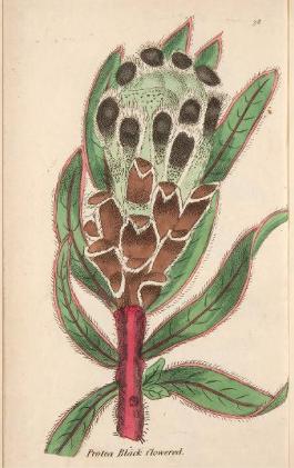 Protea lepidicarpos