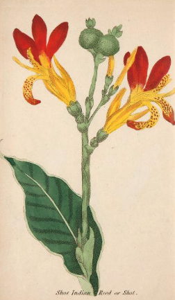 Cnna indica. For other contemporay illustrations of canna see previous post