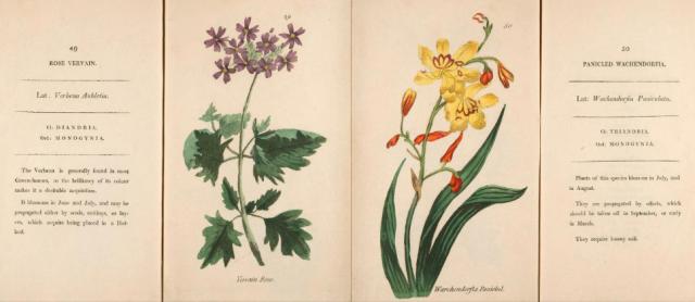 Verbena aubletia and Wachendorfia paniculata