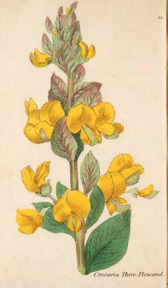Crotalaria triflora