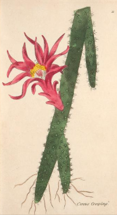 The Creeping Cereus or cactus flagelliformis