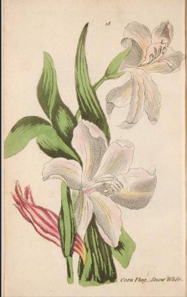 Gladiolus blandus