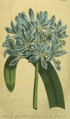 Agapanthus umbellatus from Curtis