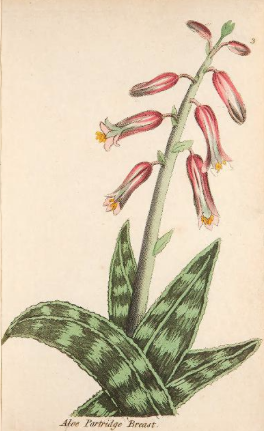 Aloe variagata
