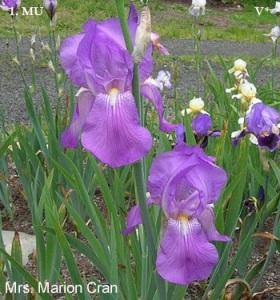 Iris Mrs Marion Cran from the Historic Iris Preservation Society http://www.historiciris.org/listings/mrs-marion-cran/