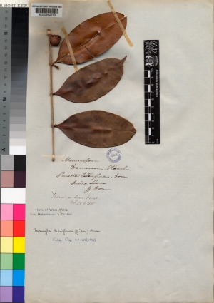 Kew's herbarum specimen of Memecylon lateriflorum [formerly Memecylon donianum] http://apps.kew.org/herbcat/getImage.do?imageBarcode=K000242513