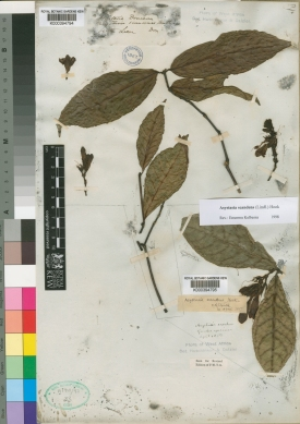 Kew's herbarium specimen of Asystasia scandens, collected by Don in Sierra Leone, http://apps.kew.org/herbcat/getImage.do?imageBarcode=K000394794
