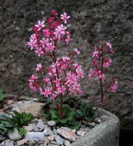 Saxifraga var. primuloides 'Elliott's Variety'